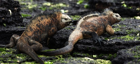 aggressively: Males marine iguana fight. Two males aggressively fight during the marriage period.