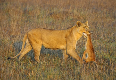 A lioness with new-born antelope prey. The lioness goes on savanna and bears the killed kid of an antelope. A yellow grass. The morning sun. photo