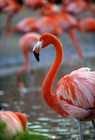 Portrait of a pink flamingo in a profile. Stock Photo - 8713561
