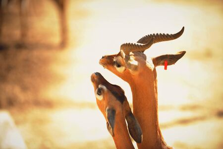 Gerenuk (Litocranius walleri), photo