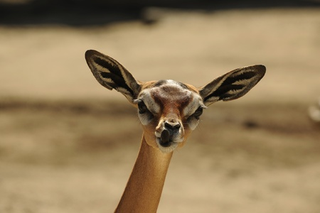 The Gerenuk (Litocranius walleri), also known as the Waller's Gazelle, is a long-necked species of antelope found in dry bushy scrub and steppe in East Africa. Stock Photo - 8713648