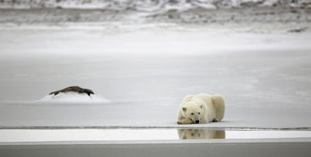 polar bear: Rest of a polar bear. A polar bear having a rest on ice at water. Stock Photo