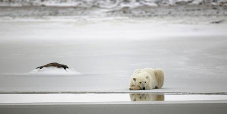 oso blanco: Resto de un oso polar. Un oso polar tener un descanso en hielo de agua. Foto de archivo