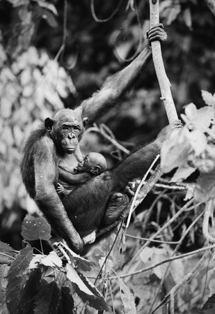 dwarfish: Dwarfish shimpaze - bonobo with a cub in a native habitat