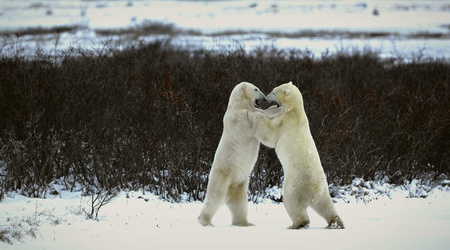 hinder: Two bears fight, having got up on hinder legs.