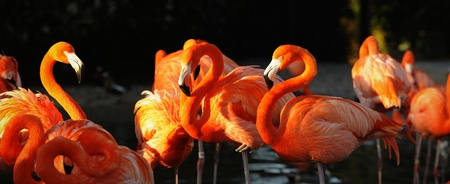 crimson colour: Flamingo on a decline. A portrait of group of pink flamingos against a dark background in decline beams.