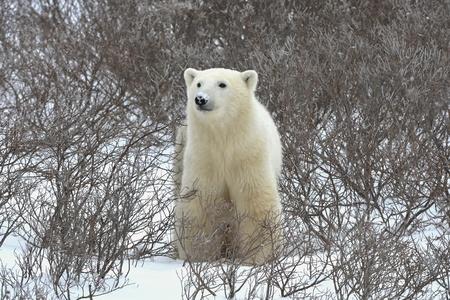 The polar bear sniffs. A portrait of the polar bear smelling air. photo