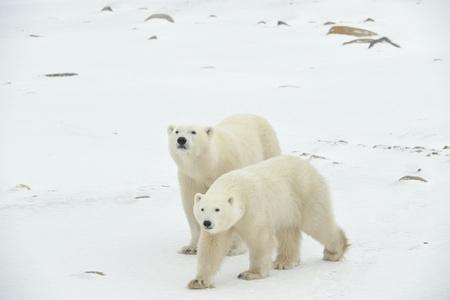 Dos osos polares. Dos osos polares ir en la tundra cubierta de nieve uno tras otro.Está nevando. Foto de archivo - 8909504