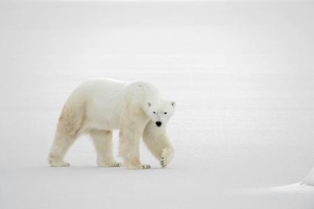 bear paw:  A polar bear going on snow.