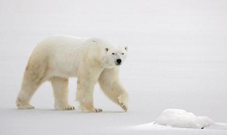 tundra:  A polar bear going on snow.
