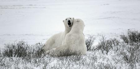 Fighting polar bears. Lying on snow polar bears bite each other.  photo
