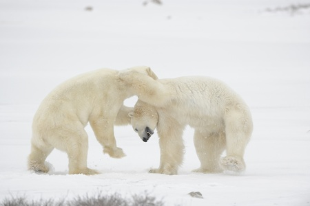 Polar bears fighting on snow have got up on hinder legs.  photo