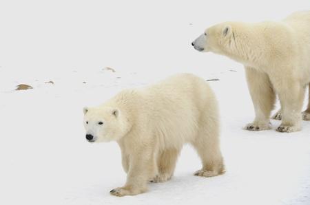 tundra: Two polar bears. Two polar bears go on snow-covered tundra.