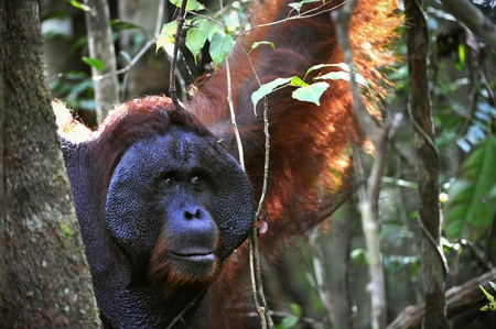 The adult male of the Orangutan. Portrait of the adult male of the orangutan in the wild nature. Island Borneo. Indonesia. Stock Photo - 9048948