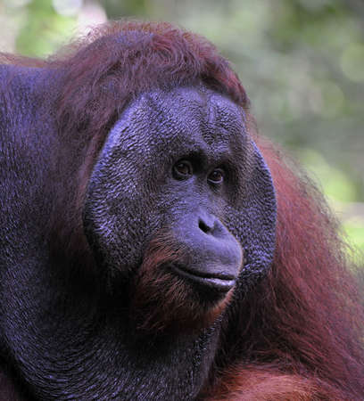 The adult male of the Orangutan. Portrait of the adult male of the orangutan in the wild nature. Island Borneo. Indonesia. Stock Photo - 9048949