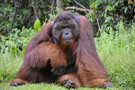 hominid: Il maschio adulto del Orangutan. Ritratto del maschio adulto di orango nella natura selvaggia. Isola di Borneo. Indonesia.