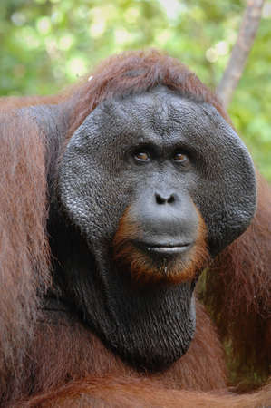 The adult male of the Orangutan. Portrait of the adult male of the orangutan in the wild nature. Island Borneo. Indonesia. photo