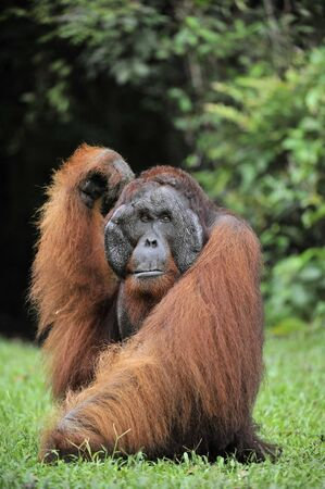 utang: The adult male of the Orangutan. Portrait of the adult male of the orangutan in the wild nature. Island Borneo. Indonesia.