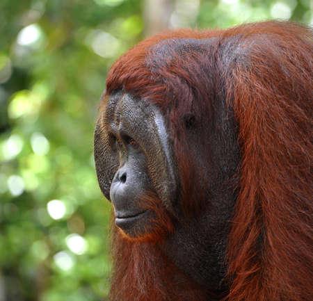 The adult male of the Orangutan. Close up portrait of the adult male of the orangutan in the wild nature. Island Borneo. Indonesia. Stock Photo - 9049110