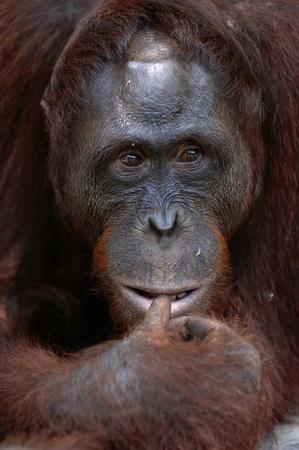 Orangutan Ben. A portrait of the young orangutan on a nickname Ben. Close up at a short distance photo