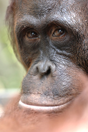 Orangutan Ben. A portrait of the young orangutan on a nickname Ben. Close up at a short distance Stock Photo - 9049131