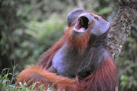 hominid: Il maschio adulto del Orangutan. Il sbadiglia orangutan, ampiamente avendo aperto la bocca e mostrando canini.