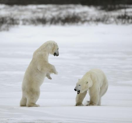Polar bears fight, challenging leadership. Stock Photo - 9049118