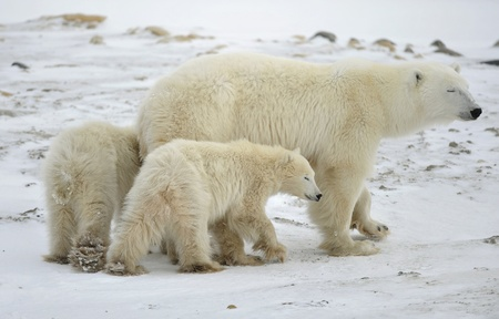 Polar she-bear with two bear cubs. Eyes are covered. A portrait at a short distance. photo