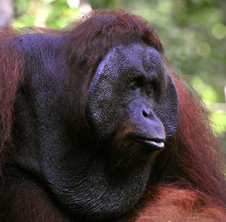 The adult male of the Orangutan. Portrait of the adult male of the orangutan in the wild nature. Island Borneo. Indonesia. Stock Photo - 9057840