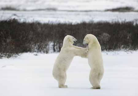 hinder: Collision. Two polar bears fight, having got up on hinder legs. Stock Photo