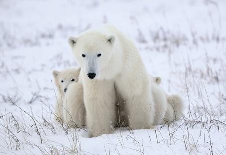 wildanimal: Polar she-bear with cubs. The polar she-bear  with two kids on snow-covered coast. Stock Photo