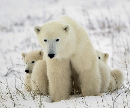 Polar she-bear with cubs. L'ourse polaire avec deux enfants sur la neige-couvertes c?te. Banque d'images