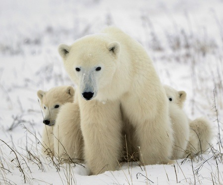 polar bear: Polar she-bear with cubs. The polar she-bear  with two kids on snow-covered coast. Stock Photo