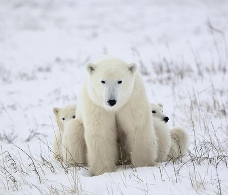 Polar she-bear with cubs. The polar she-bear  with two kids on snow-covered coast. Stock Photo