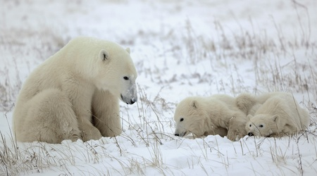 white bear: Polar she-bear with cubs. The polar she-bear  with two kids on snow-covered coast. Stock Photo