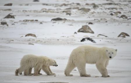 Polar she-bear with cubs. The polar she-bear  with two kids on snow-covered coast. photo