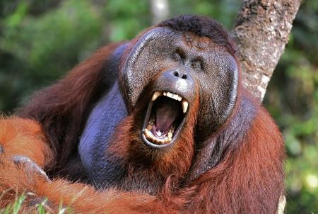 El macho del orangután muecas y bostezos... Retrato de los machos adultos de orangutanes en la naturaleza salvaje. Isla Borneo. Indonesia.