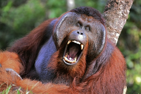 The male of the orangutan grimaces and yawns.. Portrait of the adult male of the orangutan in the wild nature. Island Borneo. Indonesia. photo