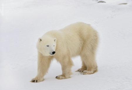blindly: El oso polar va ciegamente en la nieve.