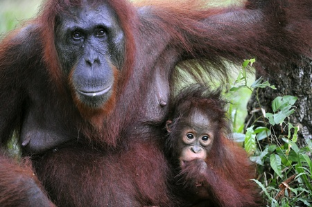 A female of the orangutan with a cub in a native habitat. Rain wood of Borneo. photo