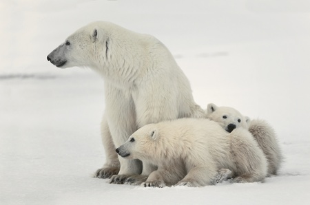 cub: White she-bear with cubs. A Polar she-bear with two small bear cubs. Around snow. Stock Photo