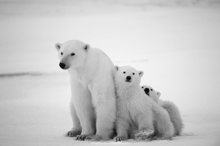 furry animals: White she-bear with cubs. A Polar she-bear with two small bear cubs. Around snow.Black and white photo.