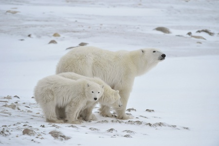 habitats: White she-bear with cubs. A Polar she-bear with two small bear cubs. Around snow. Stock Photo