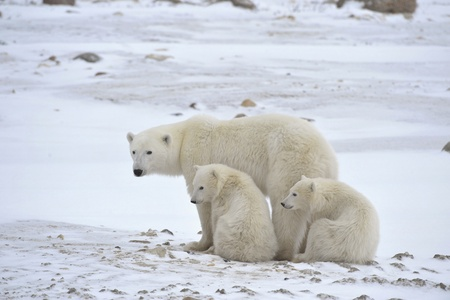 baby's: White she-bear with cubs. A Polar she-bear with two small bear cubs. Around snow. Stock Photo
