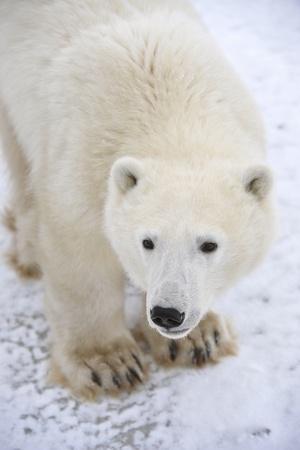 largely: Polar bear. A portrait of a polar bear. Largely.