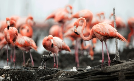 maximo: Colony of Great Flamingo  the  on nests.Rio Maximo, Camaguey, Cuba. Stock Photo