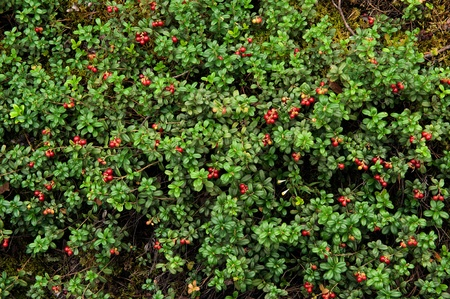 Cowberry or lingonberry (Vaccinium vitis-idaea ). Brightly red berries a cowberry in greens Stock Photo - 10422154