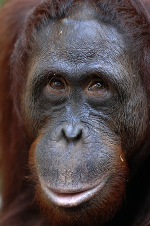 orangutan: Orangutan Ben. A portrait of the young orangutan on a nickname Ben. Close up at a short distance
