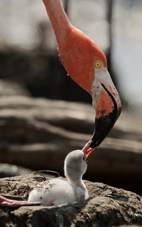 Baby bird of the Caribbean flamingo. A warm and fuzzy baby bird of the Caribbean flamingo near to the parent.