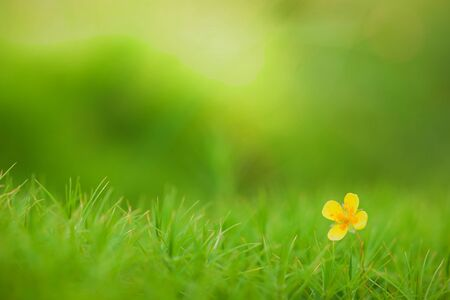 Common buttercups  flower in green to a moss.  Stock Photo - 10554438